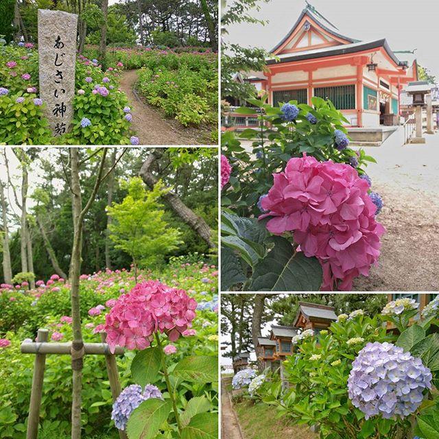 住吉神社のあじさい園。 #明石 #akashi #akashi135