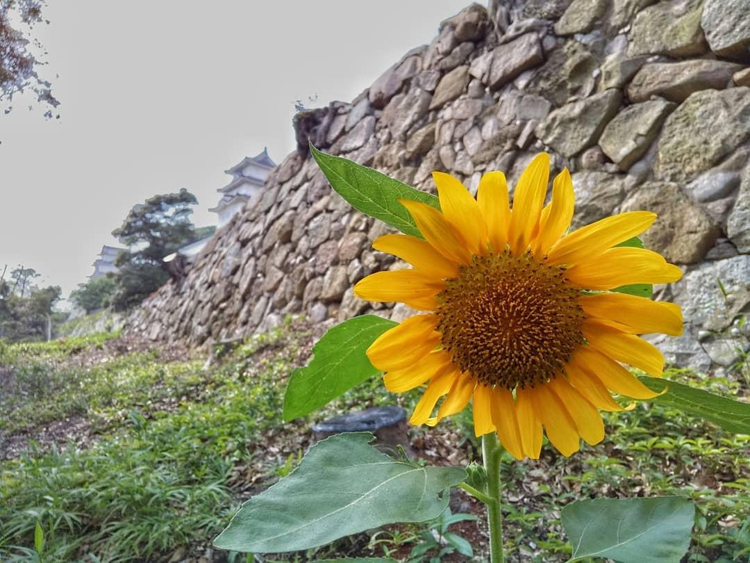 ビューポイント④ #明石城築城400周年 を迎える「 #明石公園 」です。(撮影日:2019年7月4日)珍しいところに向日葵が咲いていて、2つの櫓と石垣をバックにパチリ。#hyogoview150 #ひょうごの景観 #viewpoint150 #lovehyogo #兵庫県 #明石市